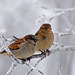 Sparrows in the Frost