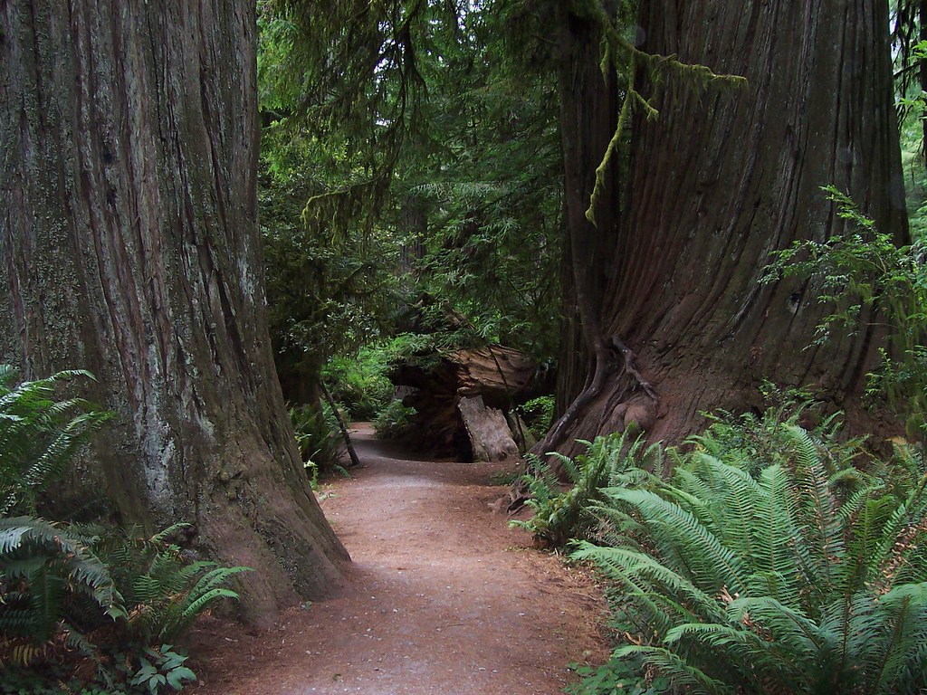 Redwood Forest We Walked Along This Trail In The Redwood F Sloggettk Flickr