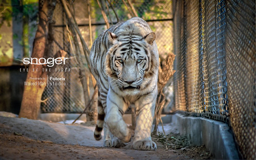 Snoger | Eye Of The Tiger! | by Fotorix Studio