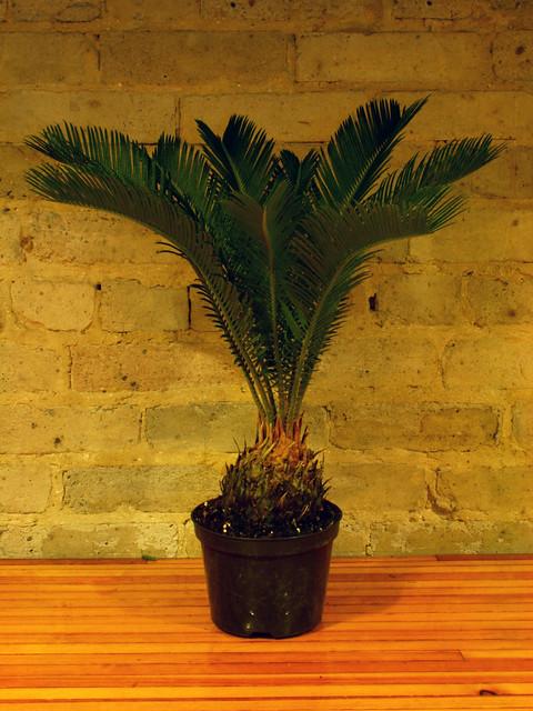 house plant sago palm 6 quot pot flickr photo