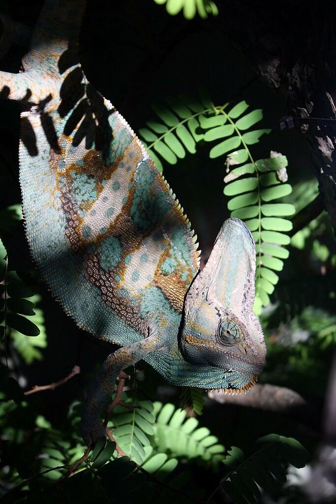 veiled chameleon  scientific name chamaeleo calyptratus