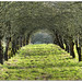 Avenue of Apple Trees