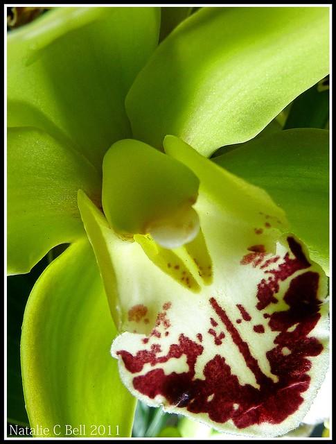 Green Cymbidium OrchidGreen Cymbidium Orchid