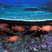 Soldierfish, Baker Island NWR
