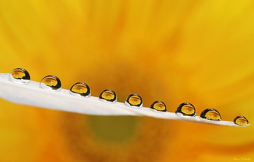 Drops on a Feather.... | by aroon_kalandy