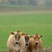 cows057LK