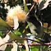 Flowering Macopa