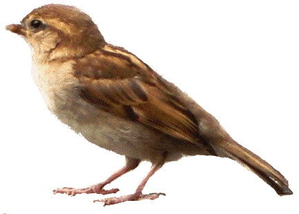 sparrow clipart, 11.5cm wide | Flickr - Photo Sharing!: https://flickr.com/photos/bycp/5487928167