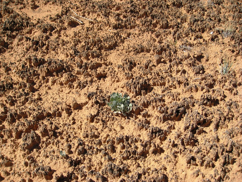 Lone plant on biological soil crust cryptobiotic soil is for Importance of soil wikipedia