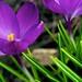 Spring Crocus 1