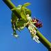 Acer negundo, Box Elder female flower