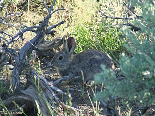Pygmy Rabbit (Brachylagus idahoensis), Leadore, ID | by Tatiana Gettelman