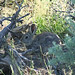 Pygmy Rabbit (Brachylagus idahoensis), Leadore, ID