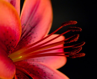 Lily Detail | by susiecw47