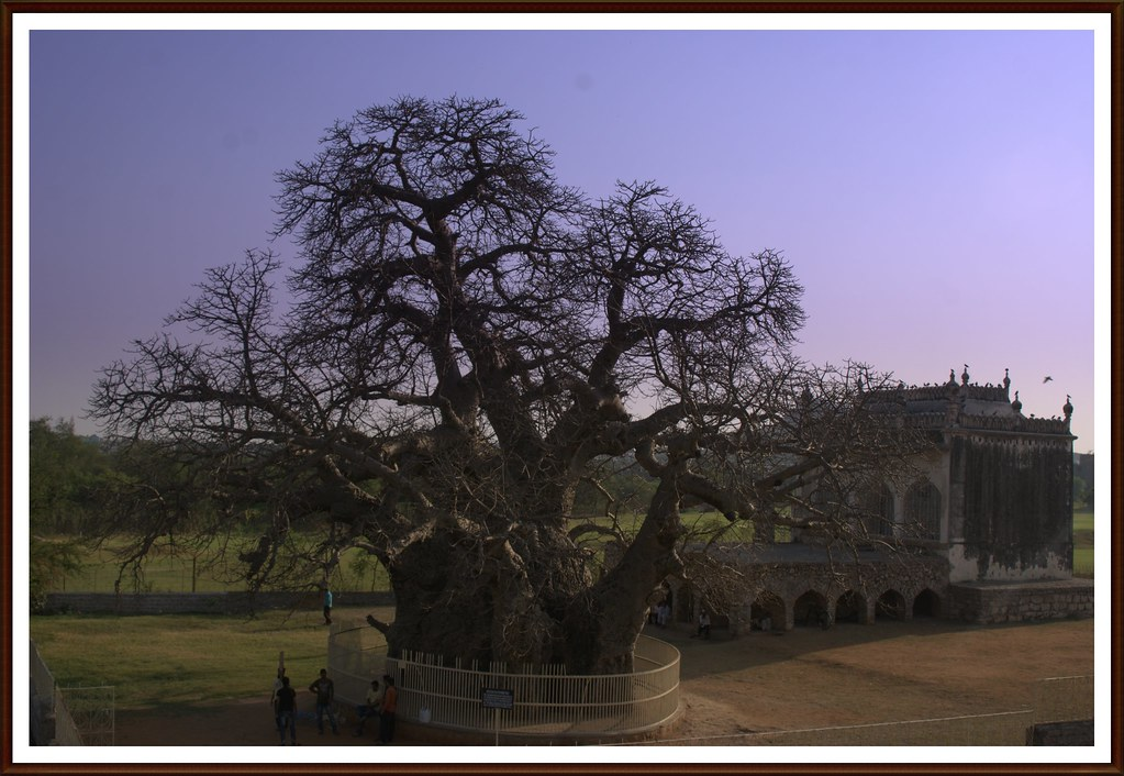 Over 400 Years Old Boab Tree At Golconda Fort Hyderabad T