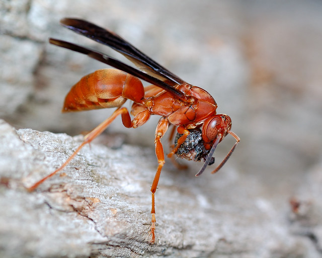 Red Wasps are everywhere! And they are MEAN!