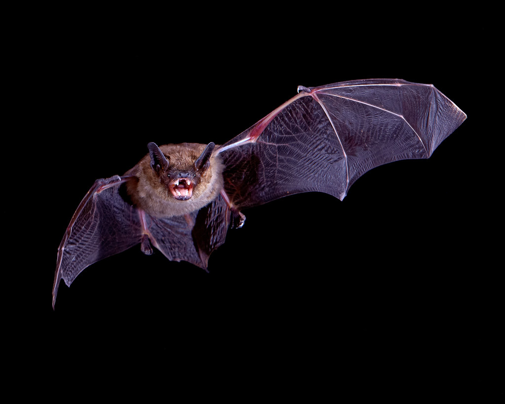 Big Brown Bat In Flight Got Back Home From South Africa