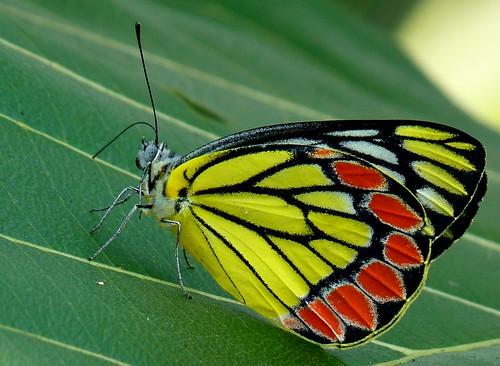 Common Jezebel | Delias eucharis | by Jkadavoor (Jee)