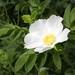 White dune rose