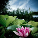 h2o - water lily