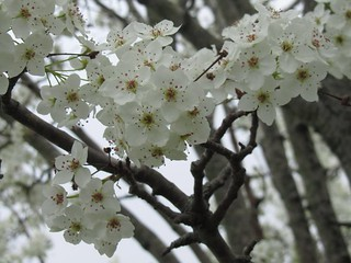 Ornamental Pear Blooms | by Stark Bro's