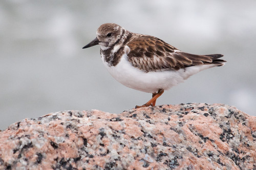 Ruddy Turnstone | by Stephen Ramirez @ Birdsiview.org