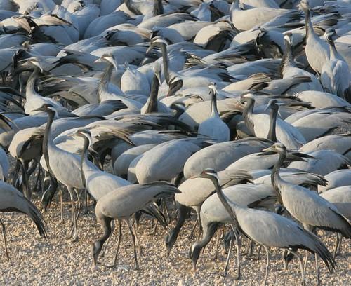 Phalodi India  City new picture : India Phalodi cranes 2 | ulricjoh | Flickr