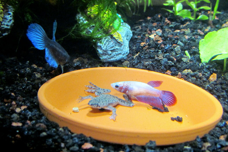 2.5 Gallon Betta Tank w/ Frog | There are 2 female bettas an… | Flickr