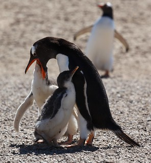 Gentoo Penguin chick getting fed | by Liam Quinn