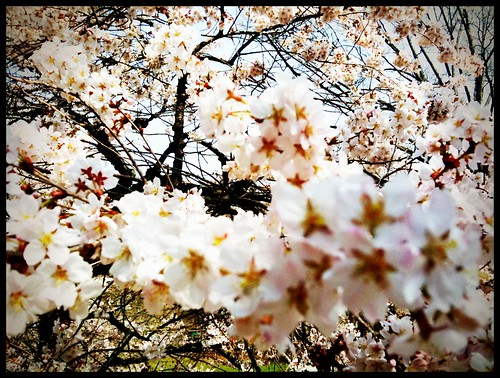 Explosion of cherry blossoms | by jeannie*
