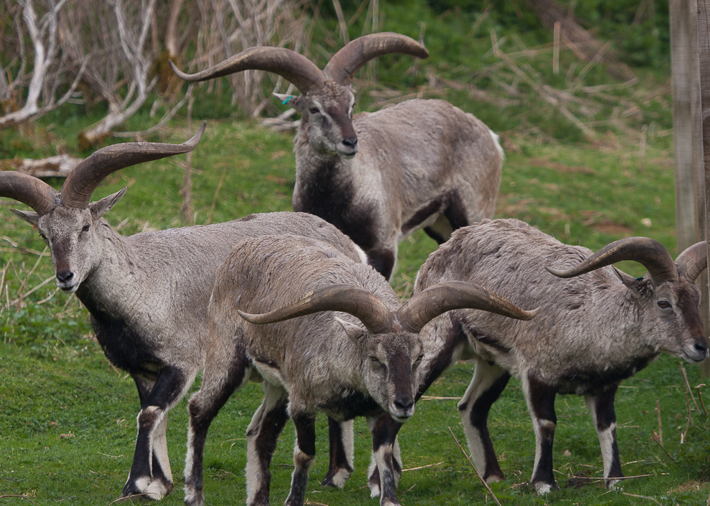 Bharal (Himalayan Blue Sheep) | At the Highland Wildlife Par ...