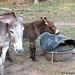 The Daily Donkey 77 b