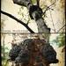 Chaga Mushroom (Inonutus obliquus)