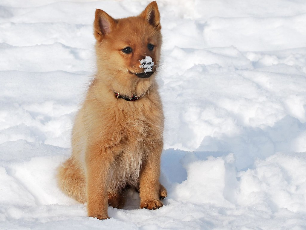 Finnish spitz puppy | The new little member of the family ...