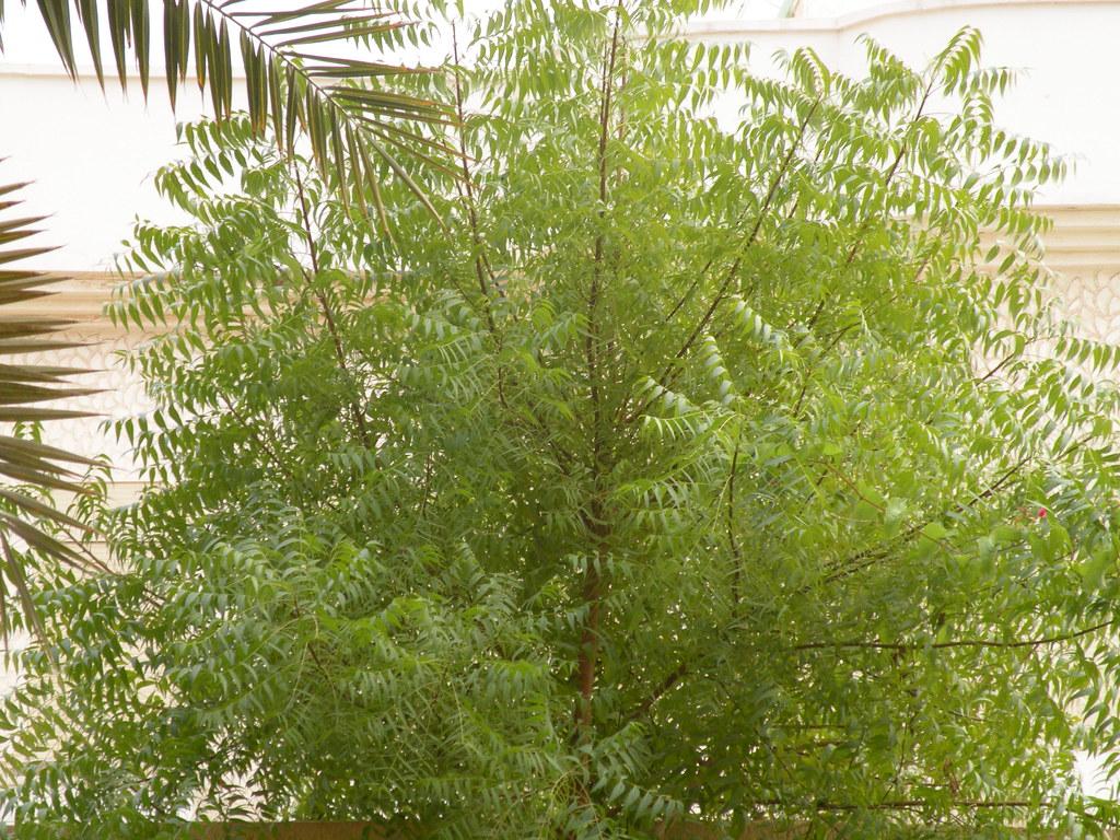 Neem Tree   Samira   Flickr