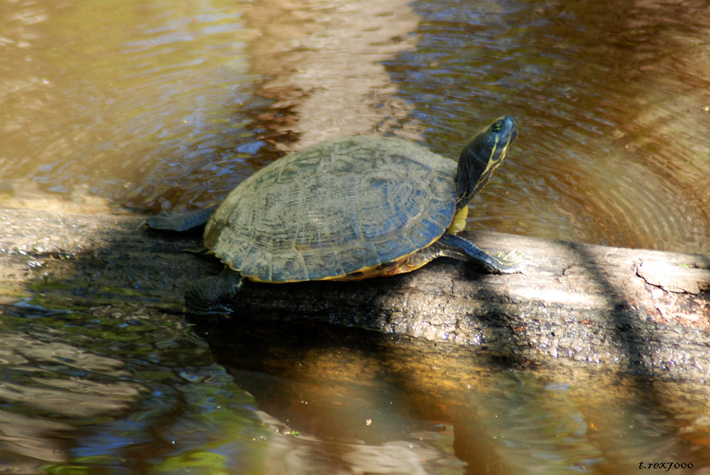Alabama Red Bellied Turtle Red Bellied Turtle