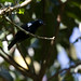 Petit's Cuckoo-Shrike, male, Bwindi, 9 Mar 2011