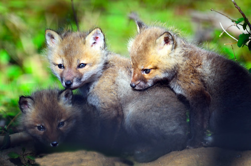 Red Fox Kits | by Brian E Kushner