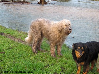 Bear and Marta Beast after the storm | by Farmgirl Susan