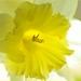 Sunkissed-Daffodil