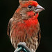Red Finch 1 - Maui, Hawaii