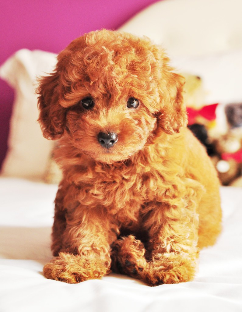 brown teddy bear puppies - HD 795×1024