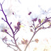 Japanese Magnolia #1