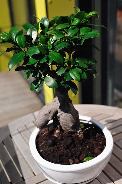 bonsai ginseng tree flickr photo sharing. Black Bedroom Furniture Sets. Home Design Ideas