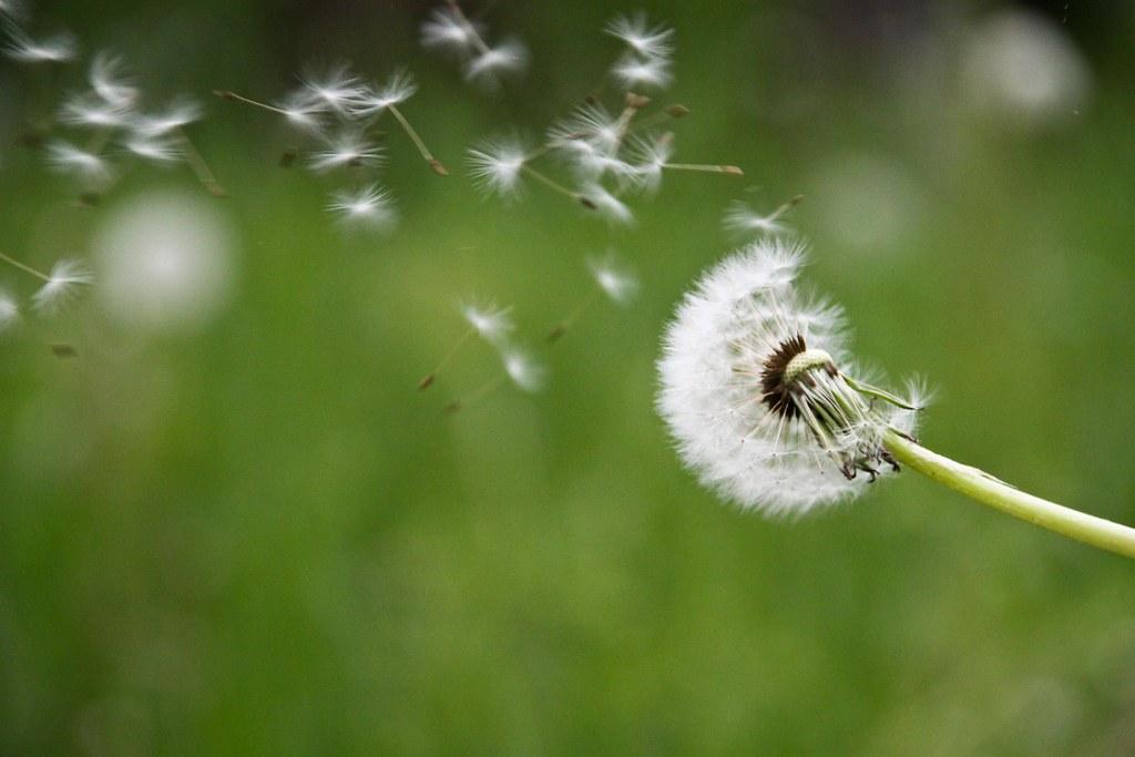 un soffio di vento fa volare i petali a paracadute del fiore del tarassaco