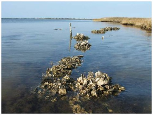 Oyster reefs | by USFWS Headquarters
