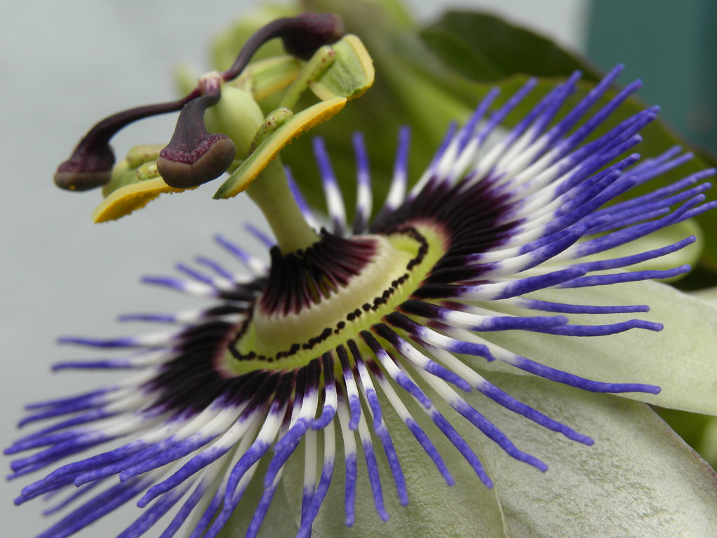 Passiflora incarnata 154 365 Uses and Medicinal Propertie…