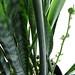 snake plant in bloom - sansevieria trifasciata