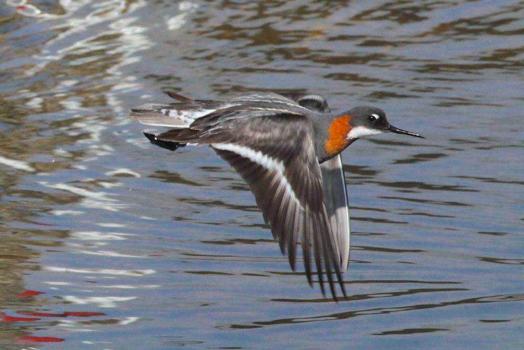 Red Phalarope Flying Red-necked Phalarope