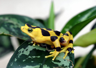 Panamanian Golden Frog #1 | by Maryland Zoo